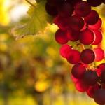 Illustration vigne grappe noir